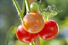 Tomatenplant Royalty-vrije Stock Afbeeldingen