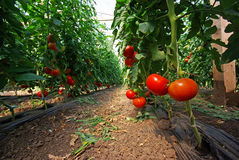 Tomatenplant Royalty-vrije Stock Afbeelding