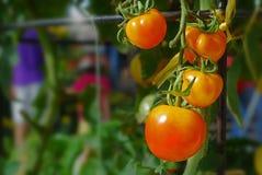 Tomatenplant in de tuin Royalty-vrije Stock Foto