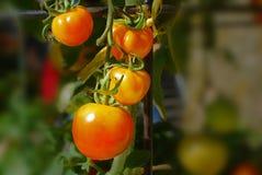 Tomatenplant in de tuin Royalty-vrije Stock Afbeelding