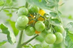 Tomatenplant of kersentomaat in de moestuin royalty-vrije stock foto's