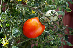 Tomatenplant met fruit Stock Foto's