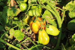 Tomatenplant met fruit in een tuin stock fotografie