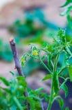 Tomatenplant met gele bloemen royalty-vrije stock foto
