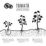 Tomatenplant met wortels vector groeiende stadia vector illustratie