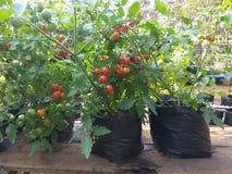 Tomatenplant op polybag Royalty-vrije Stock Foto's