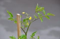 Tomatenplantbloem stock foto's