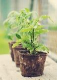 Tomatenplanten Stock Foto's