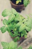 Tomatenplanten Royalty-vrije Stock Foto