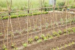 Tomatenplanten Stock Afbeeldingen
