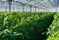 Tomatenplanten Royalty-vrije Stock Afbeeldingen