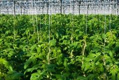 Tomatenplanten Stock Afbeelding