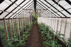 Tomatenplanten Royalty-vrije Stock Foto's