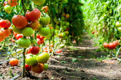 Tomatenplanten die binnen een serre groeien Stock Foto