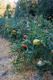 Tomatenplanten die in een huistuin groeien Royalty-vrije Stock Foto's