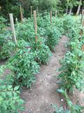 Tomatenplanten die in tuin groeien Royalty-vrije Stock Afbeelding