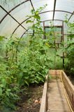 Tomatenplanten en komkommerinstallaties in plantaardige serres Royalty-vrije Stock Fotografie