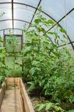 Tomatenplanten en komkommerinstallaties in plantaardige serres Royalty-vrije Stock Afbeelding