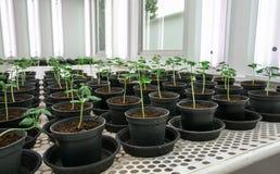 Tomatenplanten voor ziekte het testen. Royalty-vrije Stock Foto's