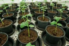 Tomatenplanten voor ziekte het testen. Stock Fotografie