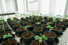Tomatenplanten voor ziekte het testen. Stock Foto's