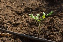 Tomatensämling gepflanzt im Garten Lizenzfreie Stockfotografie