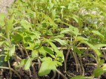 Tomatensämlinge bereit zum Pflanzen im Garten Stockbild