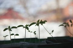 Tomatens?mlinge auf dem Fensterbrett Schattenbild von kleinen Spr?sslingen lizenzfreie stockfotos