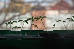 Tomatens?mlinge auf dem Fensterbrett Schattenbild von kleinen Spr?sslingen stockfoto