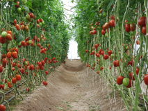 Tomatensteeg in de tuin in de middag Stock Foto's