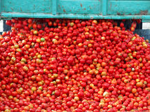 Tomatenverarbeitung Stockfoto