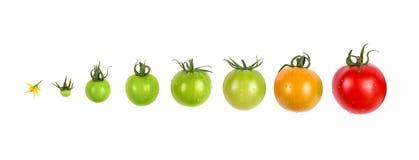 Tomatenwachstumsentwicklungs-Fortschrittssatz lokalisiert auf weißem Hintergrund Stockfotografie