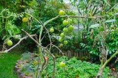 Tomatenwijnstok in tuin Stock Foto