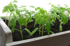 Tomatenzaailing Stock Foto