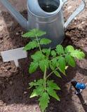Tomatenzaailing met tuinhulpmiddelen Sluit omhoog Landbouw comcept stock foto