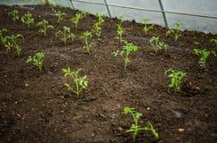 Tomatenzaailingen in de serre Royalty-vrije Stock Afbeelding