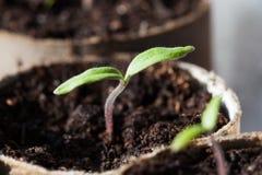 Tomatenzaailingen die in Potten ontkiemen Royalty-vrije Stock Fotografie