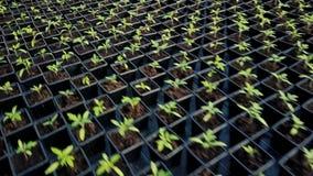 Tomatenzaailingen die in serre groeien stock videobeelden