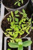 Tomatenzaailingen en peper in een serre bij de landbouwer royalty-vrije stock fotografie