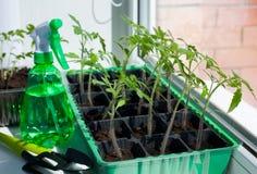 Tomatenzaailingen in potten op het venster Stock Afbeelding