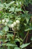 Tomatepflanzen lizenzfreie stockbilder