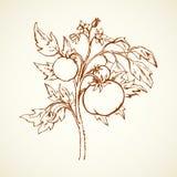 Tomater bakgrund som tecknar den blom- gräsvektorn stock illustrationer