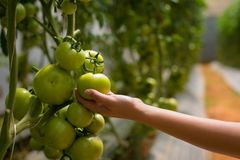 Tomater för en kvinnaplockning från henne som är trädgårds- En bonde som kontrollerar hans skörd Hydrokultur i ett grönt hus royaltyfri bild