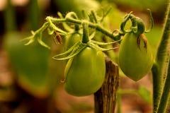 Tomater fattar med blommor, och liten gräsplan bär frukt closeupen Royaltyfri Foto