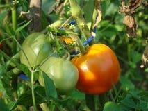 Tomater i byn i trädgården Royaltyfri Foto