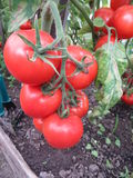 Tomater i enträdgård Arkivfoto