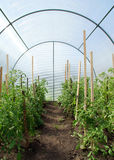 Tomater i ett drivhus Arkivfoton