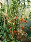 Tomater i ett växthus Royaltyfri Foto