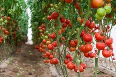 Tomater i ett växthus Arkivbilder