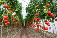 Tomater i ett växthus Arkivfoton